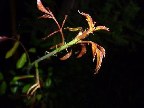 春先の赤い新芽について
